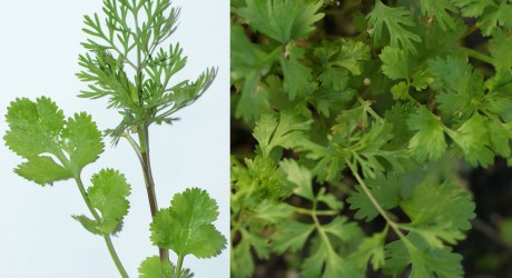 Coriander is a detoxifier with a wealth of extras