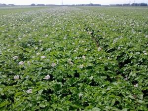 Foto-Biologische-aardappel-veld-2-juli-2013-land-020---Foto-BioRomeo-Web-2