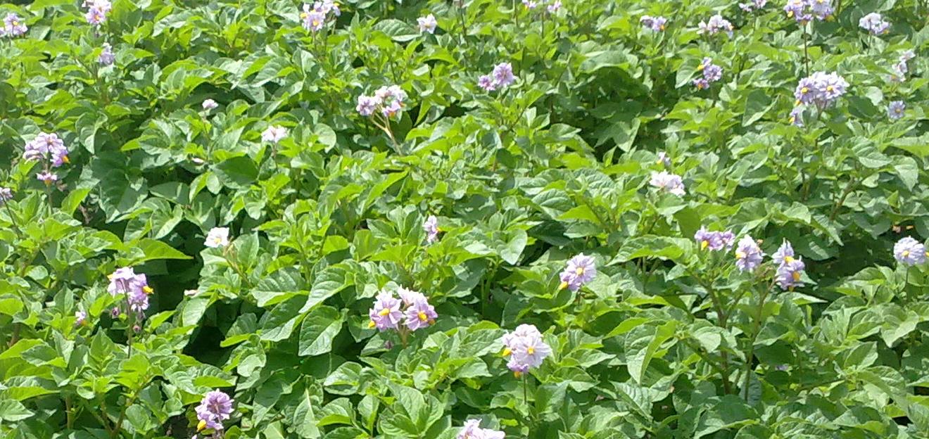 Gewas biologische aardappelen Foto: BioRomeo