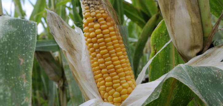 Staatssecretaris EZ, Martijn van Dam (PvdA):  Nieuwe gentechnieken vallen onder Europese gmo-richtlijnen