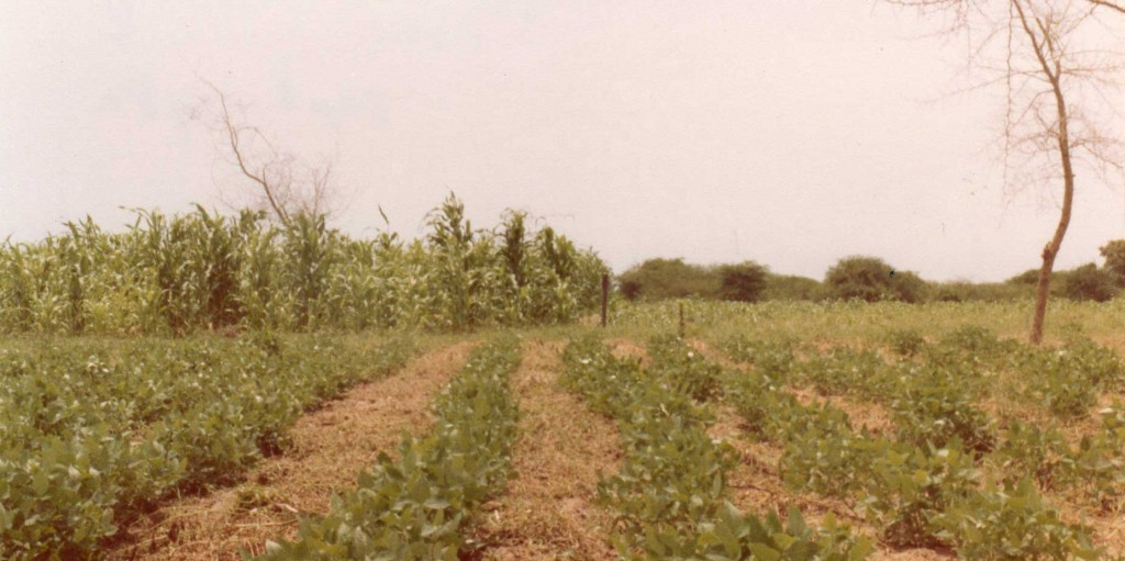 Beans (haricots niébé; cowpeas) and on the left on the background an irregular stand of the sorghum in Tsjaad (Sahel)